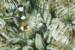 Shrimp in Gorontalo, Indonesia underwater photo. stock photography