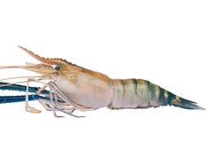 Shrimp isolate white background Royalty Free Stock Photo
