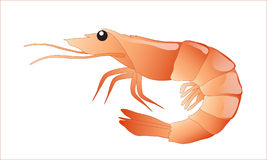 Shrimp isolated Stock Photography