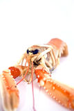 Shrimp langoustine. Single shrimp langoustine over white background Royalty Free Stock Photo