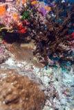 Shrimp-like decapod crustacean (stenopus hispidus), Maldives. Shrimp-like decapod crustacean (stenopus hispidus) sitting in hole, Maldives Stock Photos