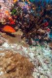 Shrimp-like decapod crustacean (stenopus hispidus), Maldives Royalty Free Stock Photos