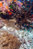 Shrimp-like decapod crustacean (stenopus hispidus), Maldives Stock Photos