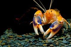 Shrimp lobster cherax yabby Crayfish destructor volcano stock photos