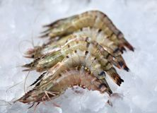 Shrimp lying Stock Image