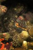 Shrimp, Mabul Island, Sabah Stock Images