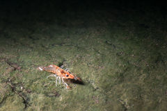 Shrimp march,Unseen Thailand Royalty Free Stock Images