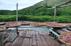 Shrimp paste drying in the sun Royalty Free Stock Images
