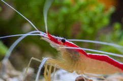 Shrimp. Photo of fish and sea animals, photo taken from the aquarium from one of the marine biota collection center royalty free stock photography