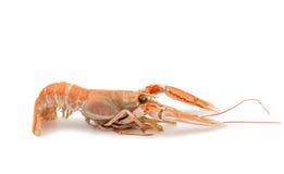 Shrimp with pincers Stock Photos
