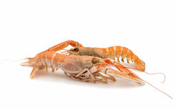 Shrimp with pincers Stock Image