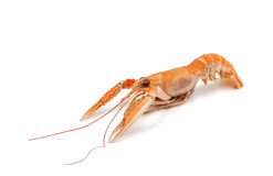 Shrimp with pincers Royalty Free Stock Image