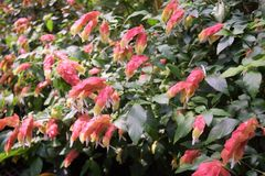 Shrimp plant. Is evergreen perennial Stock Photo