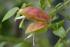 Shrimp Plant Flower Stock Photography