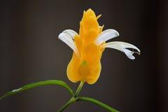 Shrimp Plant flower in macro Royalty Free Stock Images