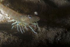 Shrimp portrait Royalty Free Stock Photos