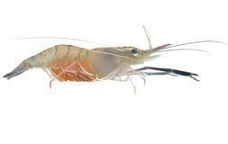 Shrimp pregnant stock photo