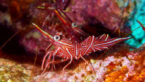 Shrimp in Red sea. Shrimp in the Red sea, Eilat, Israel stock images