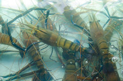 Shrimp river. In farm for sell Royalty Free Stock Image