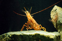 Shrimp on a rock Stock Images