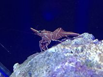 Shrimp on rock in reef. Peppermint camelback shrimp in reef Royalty Free Stock Images