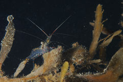 Shrimp among sea weeds. Stock Image