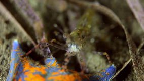 Shrimp on the seabed in grass looking for food. Amazing, beautiful underwater world Japanese Japan Sea and life of its inhabitants, creatures and diving stock video