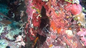 Shrimp in search of foodon on background of clear seabed underwater of Maldives. stock video