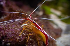 A Shrimp standing on a coral reef royalty free stock photos
