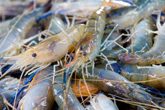Shrimp stock Royalty Free Stock Photos