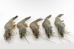 Shrimp. Vannamei a big drop in the hand of the parent isolated on white Stock Photography