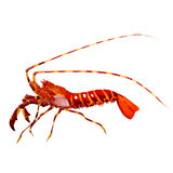 Shrimp. watercolor painting. On white background Royalty Free Stock Photography