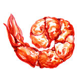 Shrimp. watercolor painting. Red shrimp. watercolor painting on white background Royalty Free Stock Images
