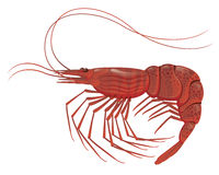 Shrimp  on white. Cooked shrimp  on white realistic vector illustration Stock Images