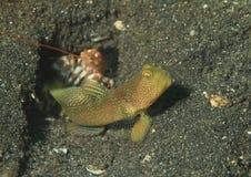 Shrimpgoby legato immagini stock libere da diritti