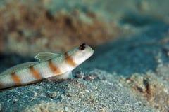 shrimpgoby steinitz στοκ φωτογραφίες με δικαίωμα ελεύθερης χρήσης