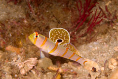 Shrimpgoby van Randall (randalli Amblyeotris) Stock Foto's