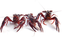 Crawfish. Fresh crawfish on white background Stock Photography