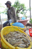 Shrimps are harvested and weighted to sell to the local processing plant in Bac Lieu city Stock Image