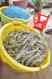 Shrimps are harvested and weighted to sell to the local processing plant in Bac Lieu city Stock Images