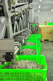 Shrimps are peeled and sized by machine for exporting in a seafood factory in Vietnam Stock Images
