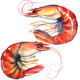 Shrimps. Prawns . Seafood. Watercolor illustration on white Stock Photography