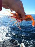 Shrimpy stockfotos