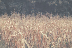 Shrivel Corn background Stock Photography
