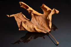 Shrivel up autumn leaf on black glass with reflection Royalty Free Stock Images