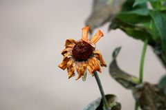 Shriveled petals of withered and dried Zinnia plant sprinkled with fresh rain surrounded with dark green leaves and other garden. Plants in background stock photo