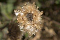 Shrivelled κεφάλι λουλουδιών Arctotis Στοκ φωτογραφία με δικαίωμα ελεύθερης χρήσης