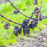 Shrivelled Grapes in Autumn Royalty Free Stock Photo