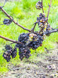 Shrivelled Grapes in Autumn Stock Photos