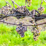 Shrivelled Grapes in Autumn Royalty Free Stock Image